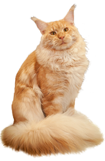 Коты мейн-кун фото цена по беларуси